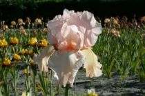 Iris germanica \'Pink Horizon\', vivace à feuilles vertes semi-persistantes et aux fleurs roses clair au printemps.