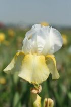 Iris germanica \'Pinnacle\', vivace à feuilles vertes semi-persistantes et aux fleurs blanches et jaunes au printemps.