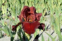 Iris germanica \'Queece\', vivace à feuilles vertes persistantes et aux fleurs brunes au printemps.