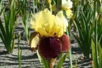Iris germanica \'Rajah Brooke\', vivace à feuilles caduques et aux fleurs jaunes brun au printemps.