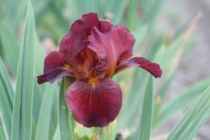Iris germanica \'Red Zinger\', vivace à feuilles vertes semi-persistantes et aux fleurs rouges et bronzés au printemps.