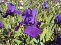 Iris germanica \'Regalaire\', vivace à feuilles vertes persistantes et aux fleurs violettes au printemps.