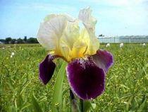 Iris germanica \'Salonique\', vivace à feuilles vertes persistantes et aux fleurs blancs crèmes violets et jaunes au printemps.