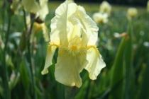 Iris germanica \'Sangreal\', vivace à feuilles vertes semi-persistantes et aux fleurs jaunes pâle au printemps.
