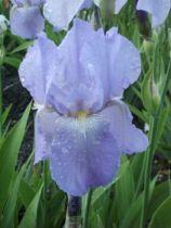Iris germanica \'Springtime Madonna\', vivace à feuilles vertes persistantes et aux fleurs bleus clair et jaunes au printemps.