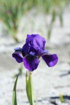 Iris pumila \'Brannigan\', vivace à feuilles bleu-verts caduques et aux fleurs bleus violets au printemps.