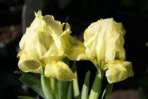 Iris pumila \'Brassie\'