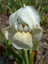 Iris pumila \'Die Braut\', vivace à feuilles bleu-verts caduques et aux fleurs blanches au printemps.