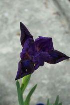 Iris pumila Truly, floraison violet foncé à barbe bleue au printemps, feuillage caduc vert gris.