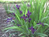 Iris x louisiana \'Black Gamecock\'