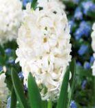 Jacinthe \'Fairy White\'