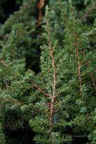 Juniperus communis \' Green Carpet \'