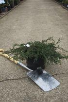 Juniperus communis \'Repanda\'