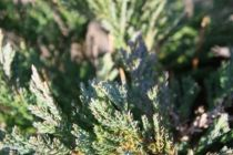 Juniperus horizontalis \'Blue Chip\'