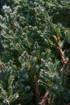Juniperus squamata \' Blue carpet \', conifere de rocaille couvre sol à feuillage bleu