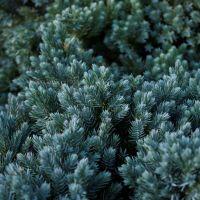 Beau conifère nain au feuillage bleu acier pour plein soleil.