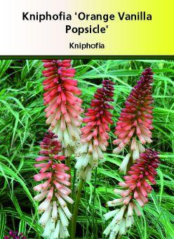 Kniphofia \' Orange vanilla Popsicle \'