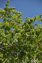 IMG_0282, arbre au feuillage caduc vert au printemps et virant au jaune en automne. Fleurs jaune en panicule lâche en été.