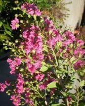 lagerstremia rose vif