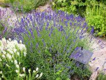Lavandula x \' Hidcote \' ou lavande compacte à fleurs bleu foncé de juin à août en exposition ensoleillé et en sol bien drainé.