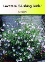 Lavatera \' Blushing Bride \'