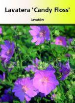 Lavatera \' Candy Floss \'