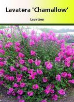 Lavatera \' Chamallow \'