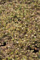 Leptinella squalida Platts Black, vivace gazonnante, semi-persistante au feuillage vert bronze et à la floraison jaune pâle au printemps.