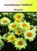 Leucanthemum \' Goldfinch \'