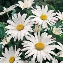 Leucanthemum x superbum \'Alaska\'