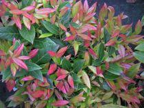 Leucothoe fontanesiana \' Scarletta \', arbuste persistant au feuillage vert rouge suivant les saisons.