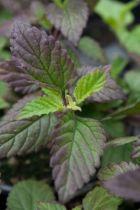 Lippia dulcis - Herbe sucrée des aztèques