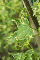 IMG_5895, arbre au feuillage caduc panaché blanc crème devenant blanc rosé à l\'automne