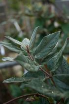 Lonicera japonica \'Chinensis\'