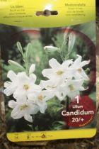 Lys \'Candidum\'