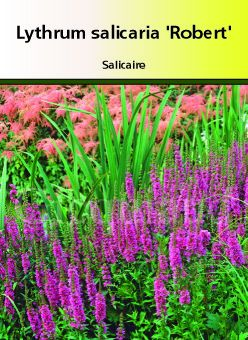 Lythrum salicaria \' Robert \'