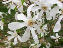 Magnolia-kobus