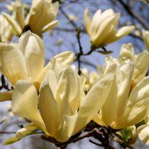 Magnolia \'Yellow lantern\'