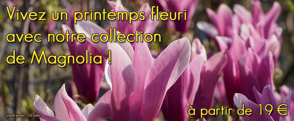 Magnolia caduc à floraison printanière, aux coloris variés du blanc au rose pourpre en passant par le rose pâle et jaune.