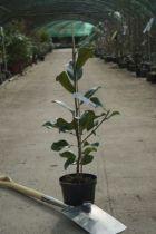 Magnolia grandiflora \' François Treyve \'