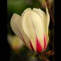 Magnolia soulangeana Sunrise