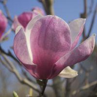 Petit arbre caduc au feuillage vert et aux fleurs blanc rosé au printemps.