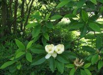 Magnolia virginiana \' Glauca \'
