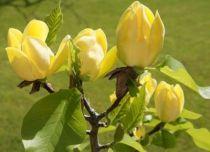 Magnolia brooklynensis Yellow Bird