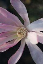 Magnolia x loebneri \' Leonard Messel\'