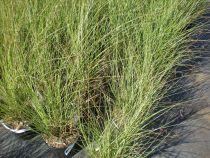 Miscanthus sinensis \'Gracillimus\'