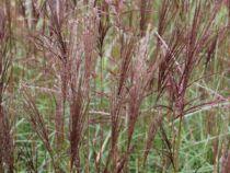 Miscanthus sinensis \'Sioux\'