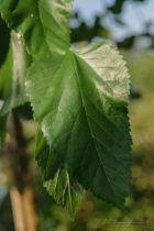 Morus alba Pendula, petit arbre pleureur caduc à feuillage vert.