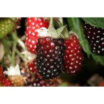 mures boysenberry