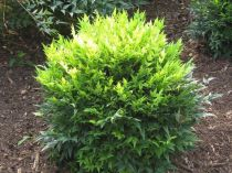 Nandina* domestica Magical® Lemon Lime \'Lemlim\'